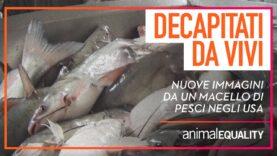Estrema sofferenza dei pesci: nuove immagini esclusive da un macello in USA