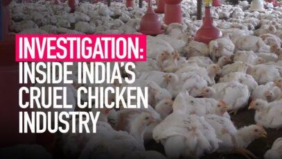 Inside India's Cruel Chicken Industry