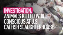 INVESTIGATION: Animals Killed While Conscious at US Catfish Slaughterhouse