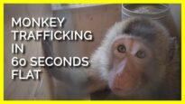 Monkey Trafficking in 60 Seconds Flat
