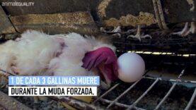 MUDA FORZADA | Nueva investigación de Igualdad Animal