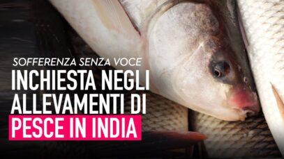Sofferenza senza voce: inchiesta negli allevamenti di pesce in India