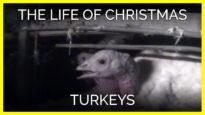 The Life of Christmas Turkeys
