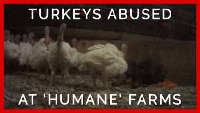 Turkeys Kicked and Spiked at 'Humane' Farms Supplying Top Grocers