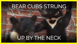 Bear Cubs Strung Up by the Neck