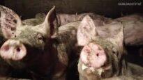 Cerdos agonizando y viviendo entre excrementos