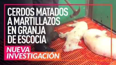 Cerdos matados a martillazos