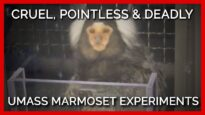 Cruel, Pointless, and Deadly: Experiments on Marmosets at the University of Massachusetts–Amherst
