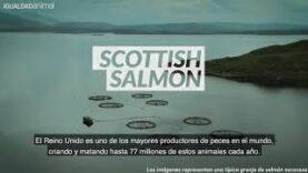 De esta manera se mata al salmón escocés