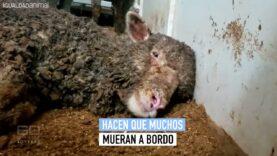 La crueldad de la exportación de animales