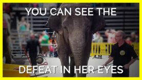 Minnie The Elephant's Defeated Eyes Will Leave You Heartbroken