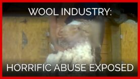 New PETA Asia Investigation Reveals Even More Horrific, Pervasive Abuse in the Wool Industry
