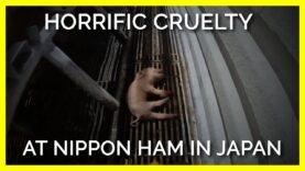PETA Asia Exposes Horrific Cruelty to Pigs at Nippon Ham in Japan