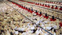 Poulets en batterie – Le reportage Choc