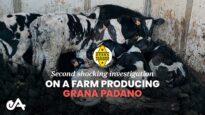 Second shocking investigation on a farm producing Grana Padano | Essere Animali
