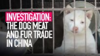 The cruel dog meat and fur trade in China – Animal Equality investigation