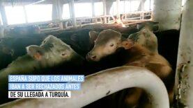 Tras meses a la deriva, los 1.700 animales del buque Elbeik serán sacrificados