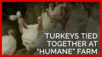 Turkeys Tied Together at 'Humane' Farm Supplying Top Grocers