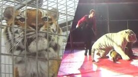Abusive tiger training exposed at circus