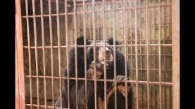 After 14 years…a new life for rescued moon bear Sky