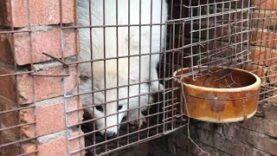 China fur investigation reveals cruelty