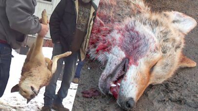 Coyotes slaughtered in wildlife killing contest