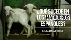 ¿CUÁNTOS ANIMALES SACRIFICAN EN LOS MATADEROS? | PROTECCIÓN ANIMAL