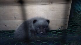 Fur Farming in Finland Exposed!