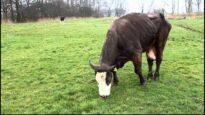 Gisela, eine Kuh will leben