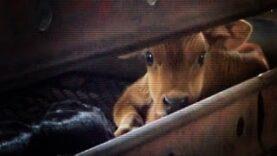 Hidden camera dairy calf investigation