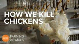How slaughterhouses kill thousands of chickens an hour