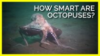 How Smart Are Octopuses Really? #shorts