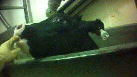 HSUS Investigation of Catelli Bros. Calf Slaughter Plant
