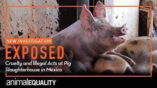 INVESTIGATION: Cruel and Illegal Acts Exposed at Mexican Pig Slaughterhouse