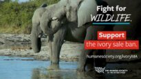 Investigation reveals undocumented ivory found in Massachusetts
