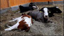 Kühe haben einen ausgeprägten Familiensinn