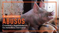 MATADERO DE CERDOS: MALTRATO ANIMAL EXPUESTO POR IGUALDAD ANIMAL