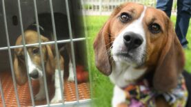 Meet Teddy: Rescued from cruel research