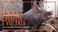 NUOVA INCHIESTA: crudeltà e violenza in un macello di maiali in Messico