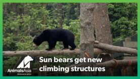 Rescued sun bears get new climbing structures to play on
