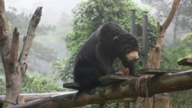 Rescued young sun bears live in giant playground