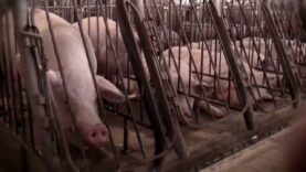 Seaboard Pork Producer Investigation