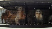 Texas Puppy Seller Investigation