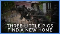 The Heartwarming True Story of Three Little Pigs