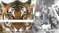 Tiger King: What we discovered under cover