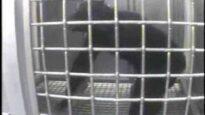 Undercover Footage: Chimpanzee Sedation