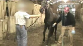 USDA inspections find horse soring cruelty