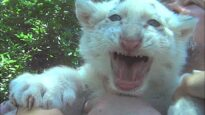 What Baby Tigers are Forced to do Might Shock You!