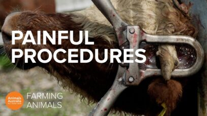Why farmed animals face legal animal cruelty