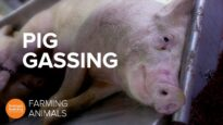 Why pigs killed for meat are sent to gas chambers